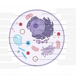 Unlabelled animal cell diagram